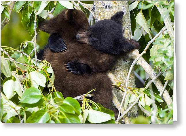 Black Bear Climbing Tree Greeting Cards - Bear Hug Greeting Card by Nancy J  Wagner Photography