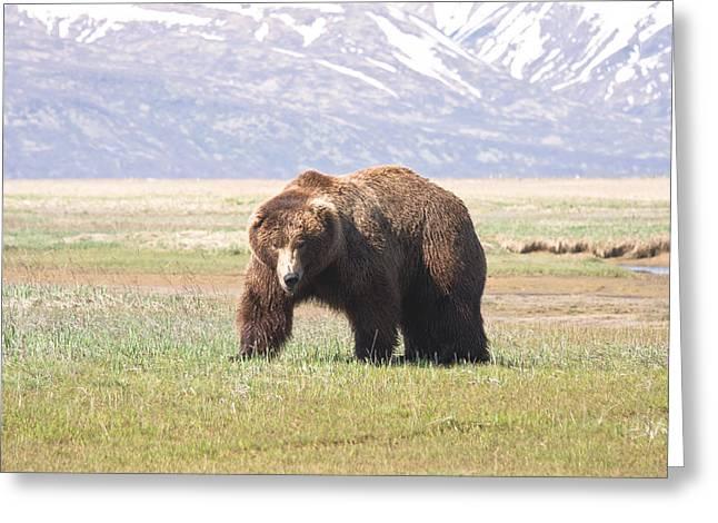 American Brown Bear Greeting Cards - Bear in Hallo Bay in Katmai National Park Alaska Greeting Card by Natasha Bishop