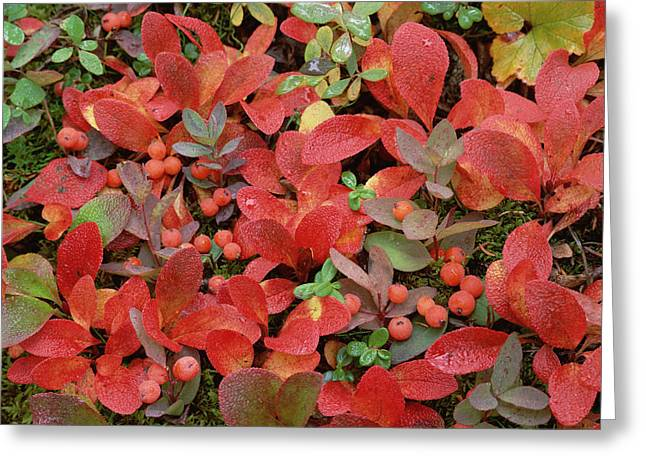 Photos Of Autumn Greeting Cards - Bearberry In Autumn Yukon Canada Greeting Card by Tim Fitzharris