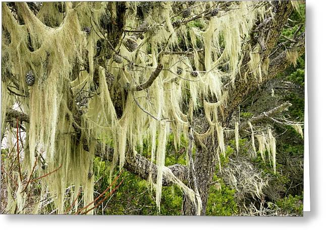 Beard Lichen Growing On Shore Pine Greeting Card by Bob Gibbons