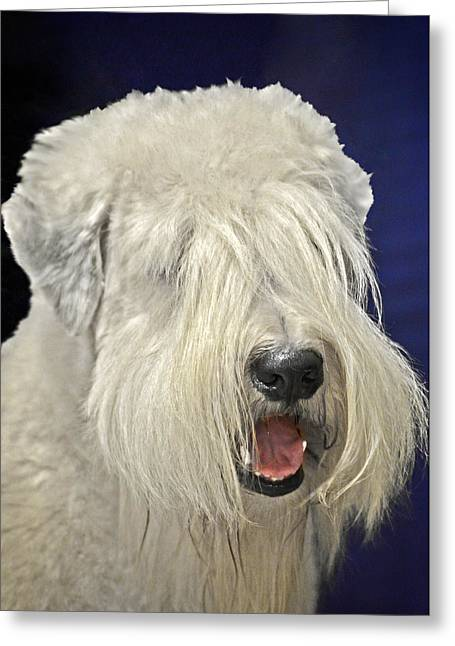 White Dog Greeting Cards - Bearded Collie - the Bouncing Beardie Greeting Card by Christine Till