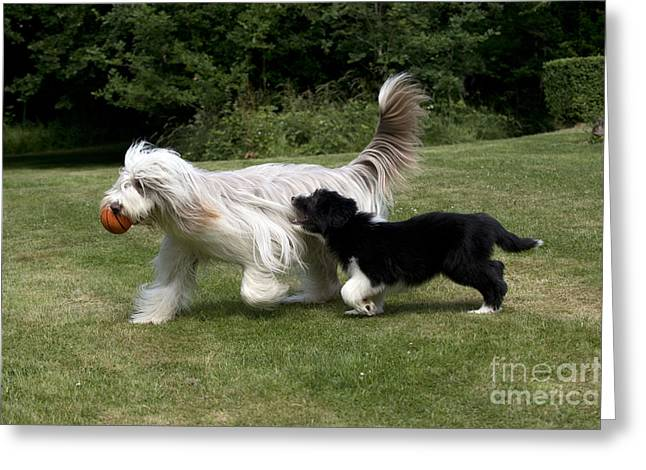 Bearded Collies Playing Greeting Card by John Daniels