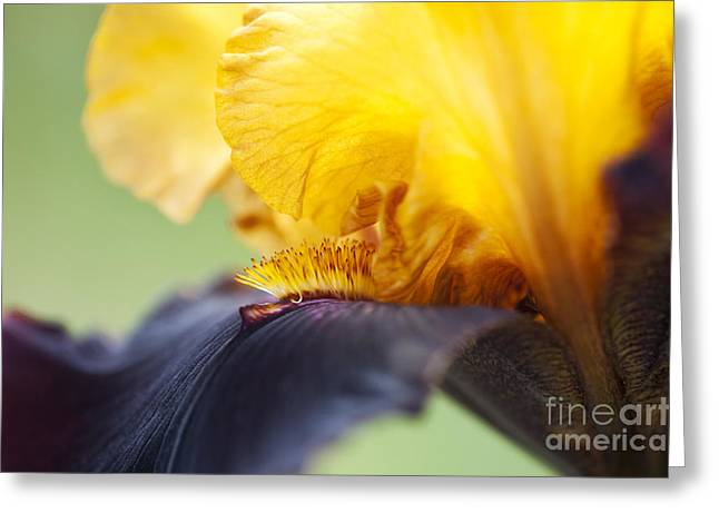 Beard Greeting Cards - Bearded Iris Dwight Enys Abstract Greeting Card by Tim Gainey