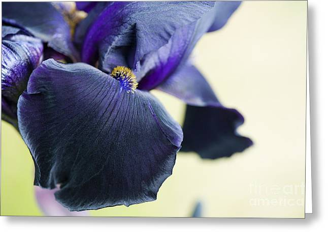 Beard Greeting Cards - Bearded Iris Interpol Greeting Card by Tim Gainey