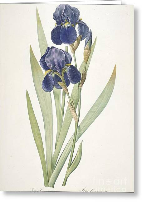 Labelled Greeting Cards - Bearded Iris Greeting Card by Pierre Joseph Redoute