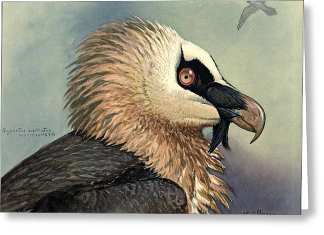 1874 Greeting Cards - Bearded Vulture Greeting Card by Louis Agassiz Fuertes