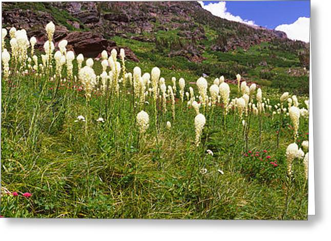 Us National Parks Greeting Cards - Beargrass Xerophyllum Tenax Greeting Card by Panoramic Images
