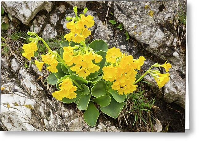 Bear's Ear Primrose (primula Auricula) Greeting Card by Bob Gibbons