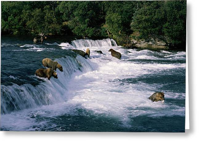 Fishing Creek Greeting Cards - Bears Fish Brooks Fall Katmai Ak Greeting Card by Panoramic Images
