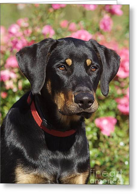 Lab Mix Greeting Cards - Beauceron Labrador Mix Greeting Card by Brinkmann/Okapia