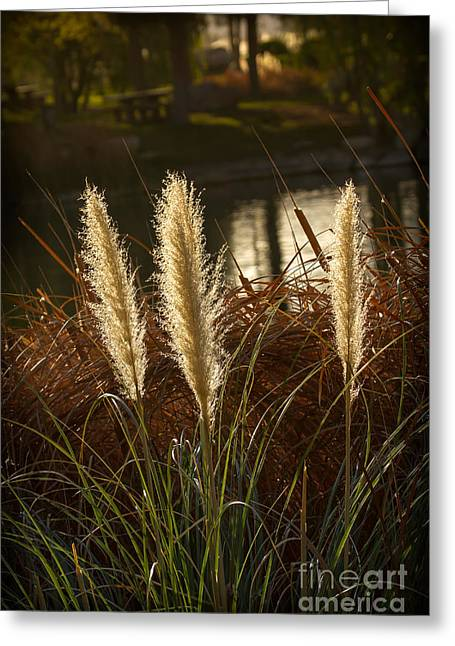 Feathery Greeting Cards - Beautiful Pampas Grass Greeting Card by Robert Bales