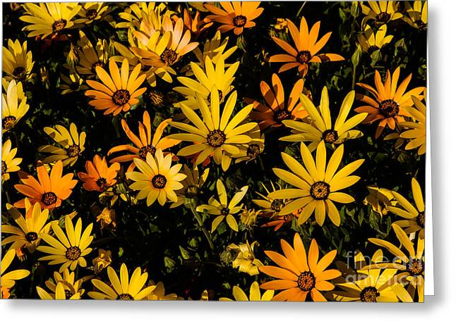 African Greeting Greeting Cards - Beautiful African Daisies Greeting Card by Robert Bales
