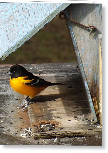 Orange And Brown Wings Greeting Cards - Beautiful Baltimore Oriole Greeting Card by Brenda Brown
