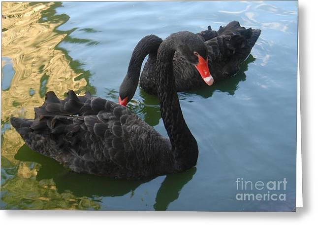 Black Swans Greeting Cards - Beautiful Black Swans Greeting Card by Carla Carson