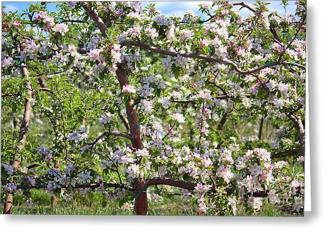 Fruit Tree Art Photographs Greeting Cards - Beautiful Blossoms - Digital Art Greeting Card by Carol Groenen