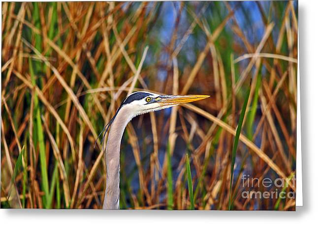 Grey Heron Greeting Cards - Beautiful Blue Greeting Card by Al Powell Photography USA
