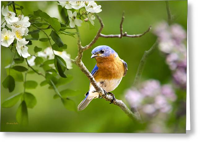 Bluebird Greeting Cards - Beautiful Bluebird Greeting Card by Christina Rollo
