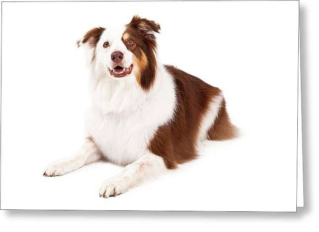 Herding Dogs Greeting Cards - Beautiful Border Collie Laying Down Greeting Card by Susan  Schmitz
