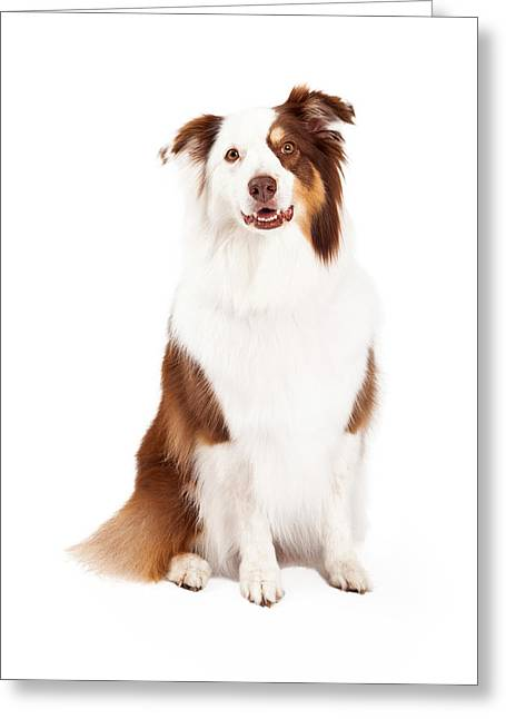 Herding Dogs Greeting Cards - Beautiful Border Collie Sitting Greeting Card by Susan  Schmitz