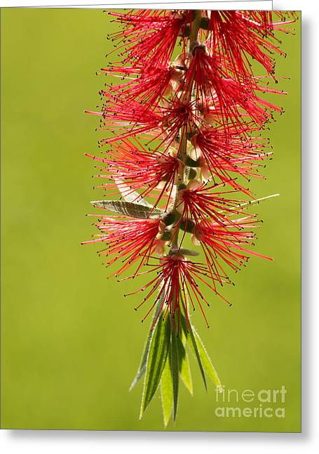 Florida Flowers Greeting Cards - Beautiful Bottle Brush Flower Greeting Card by Sabrina L Ryan