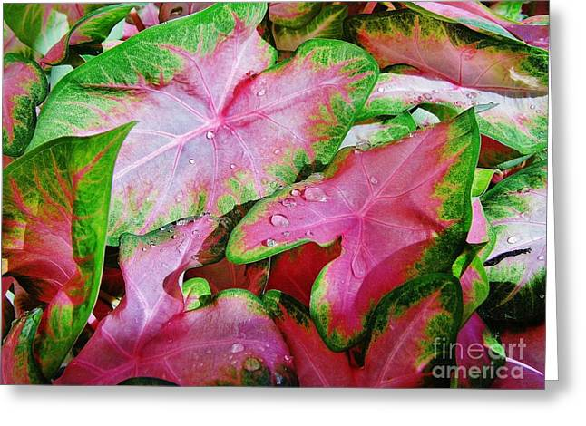 Moisture On Plants Photographs Greeting Cards - Beautiful Caladiums Greeting Card by D Hackett