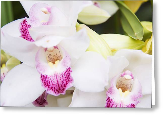 Cattleya Greeting Cards - Beautiful Cattleya White Orchids Greeting Card by Daphne Sampson