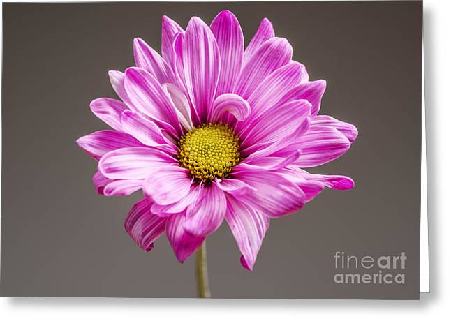 Colorful Photography Greeting Cards - Beautiful Chrysanthemum Greeting Card by Vishwanath Bhat