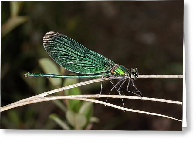Beautiful Demoiselle Damselfly Greeting Card by Bob Gibbons