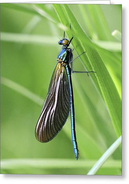 Recently Sold -  - Demoiselles Greeting Cards - Beautiful demoiselle damselfly Greeting Card by Science Photo Library