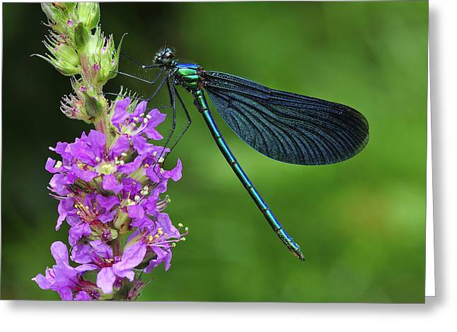 Demoiselles Greeting Cards - Beautiful Demoiselle Male Switzerland Greeting Card by Thomas Marent