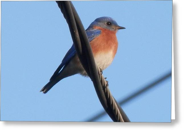 Just Right Greeting Cards - Beautiful Eastern Bluebird Greeting Card by Belinda Lee