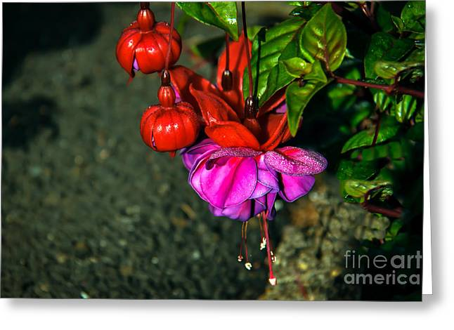 Picturesqueness Greeting Cards - Beautiful Fuchsia Greeting Card by Robert Bales