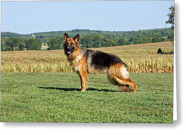 Gsd Greeting Cards - Beautiful German Shepherd Greeting Card by Sandy Keeton