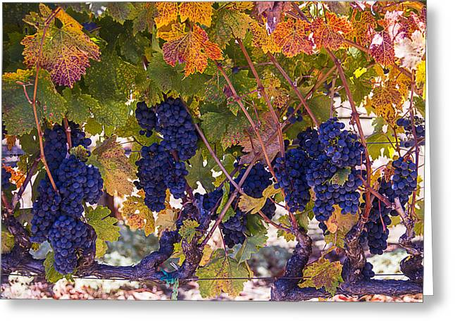 Ripe Grapes Greeting Cards - Beautiful Grape Harvest Greeting Card by Garry Gay