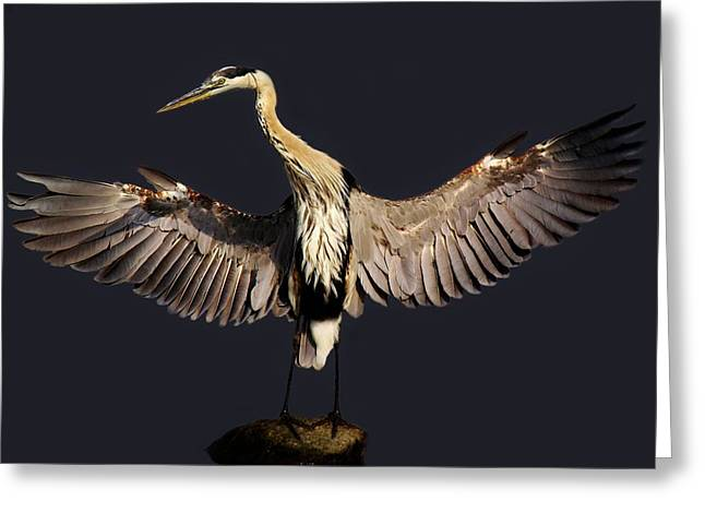 Paulette Thomas Photography Greeting Cards - Beautiful Great Blue Heron - # 16 Greeting Card by Paulette Thomas