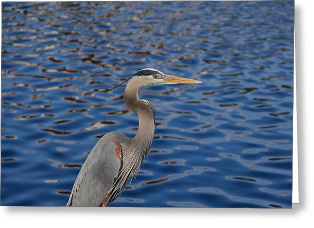 Wildlife Celebration Greeting Cards - Beautiful Great Blue Heron Greeting Card by Denise Mazzocco