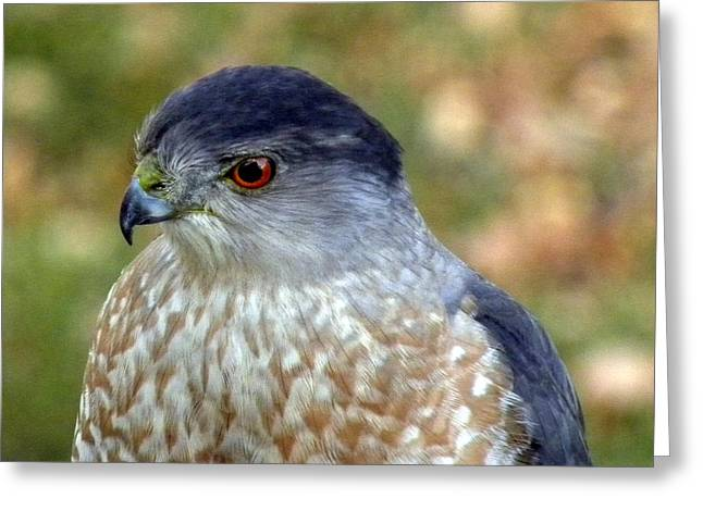 Beautiful Hawk Greeting Card by Teresa Schomig
