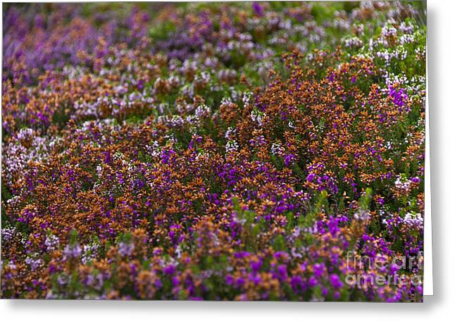 Beautiful Creek Greeting Cards - Beautiful Heather Greeting Card by Svetlana Sewell