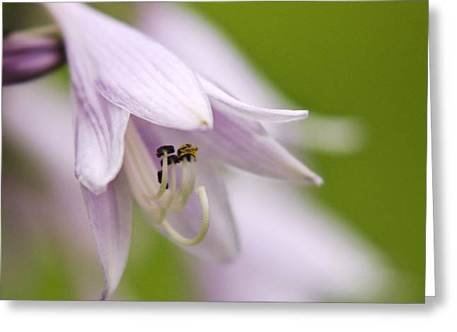 Soft Light Greeting Cards - Beautiful Hosta Flowers Greeting Card by Christina Rollo