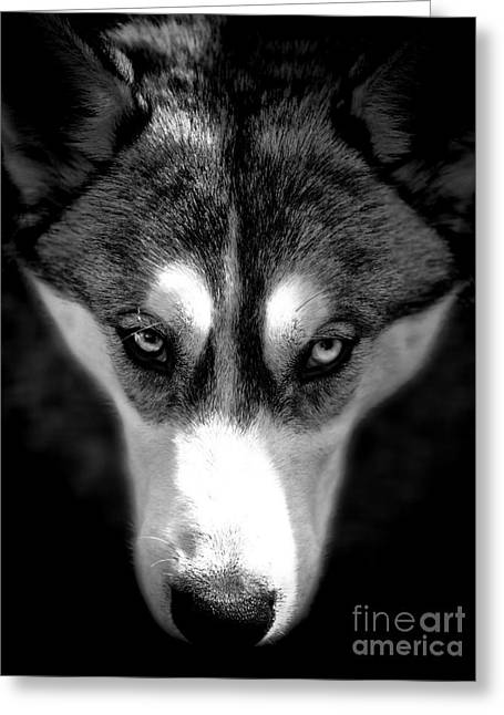 Huskies Photographs Greeting Cards - Beautiful Husky Greeting Card by Karen Lewis