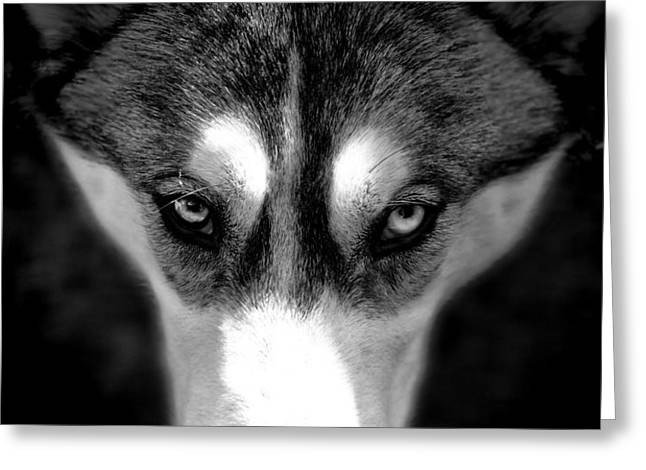 Beautiful Husky Greeting Card by Karen Lewis