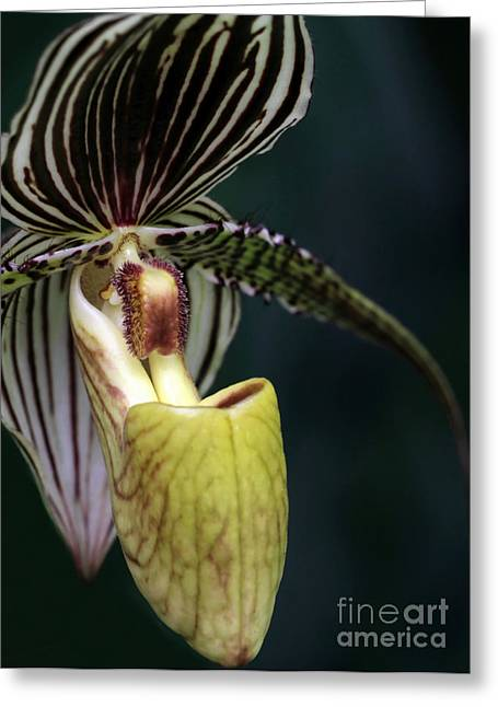 Florida Flowers Greeting Cards - Beautiful Lady Slipper Orchid Greeting Card by Sabrina L Ryan