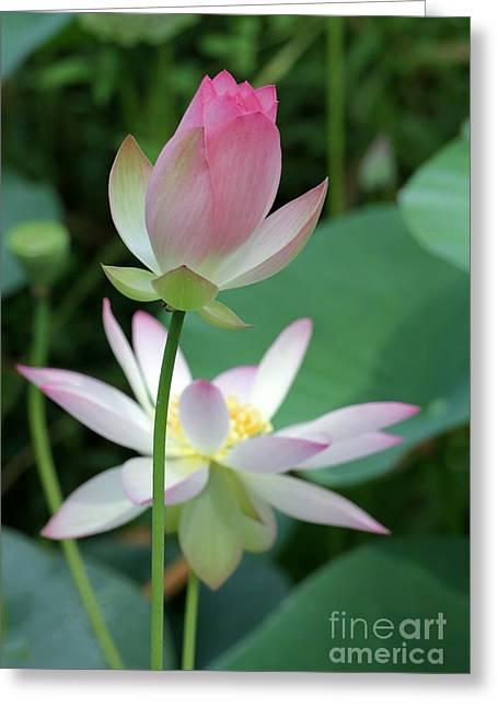 Lotus Bud Greeting Cards - Beautiful Lotus Blooming Greeting Card by Sabrina L Ryan