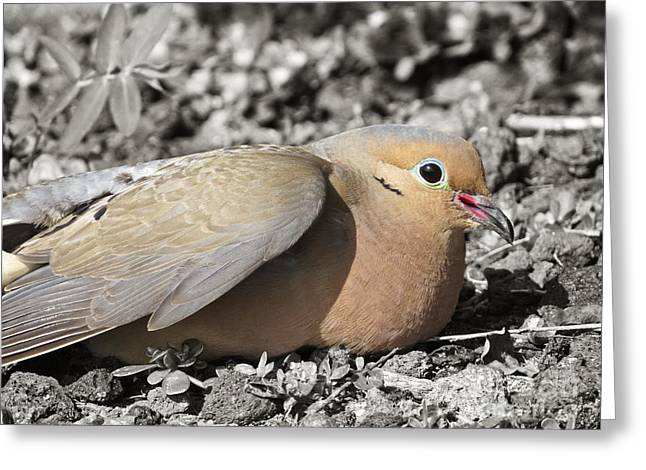 Morning Dove Photograph Greeting Cards - Beautiful Mourning Dove Greeting Card by Ella Kaye Dickey