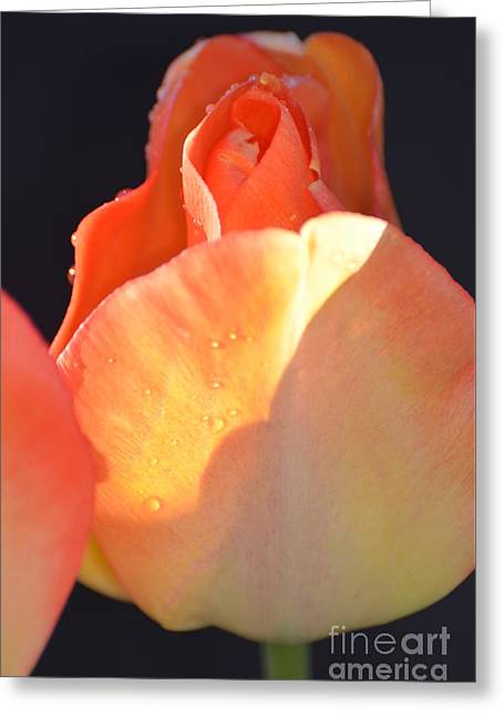 Shower Curtain Photographs Greeting Cards - Beautiful Orange Rose in the Rain - Floral photography Greeting Card by ArtyZen Studios - ArtyZen Home