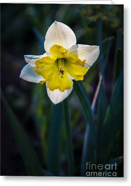 Bouquet Amaryllis Greeting Cards - Beautiful Narcissus Greeting Card by Robert Bales