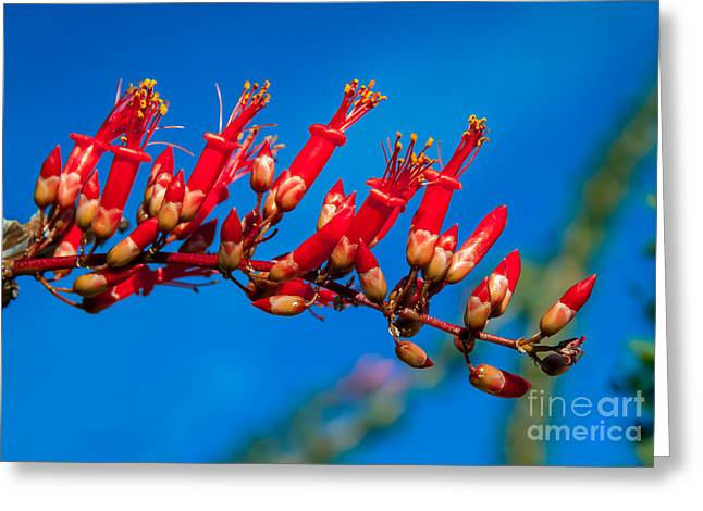 Haybale Greeting Cards - Beautiful Ocotillo Greeting Card by Robert Bales