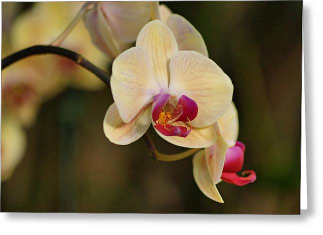Orchids Art Greeting Cards - Beautiful Orchid Greeting Card by Sandy Keeton