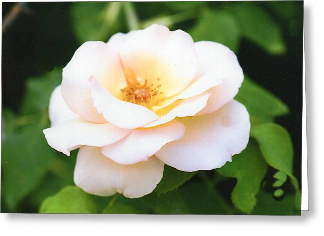 Photograph Of Peaches Greeting Cards - Beautiful Peach Rose Greeting Card by Ellen Stanton