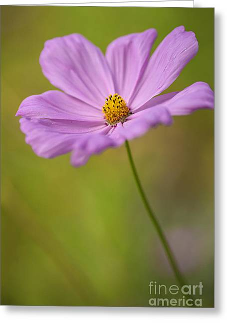 In Depth Greeting Cards - Beautiful Pink Cosmos Flower Greeting Card by Vishwanath Bhat